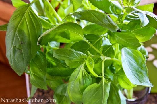 Basil growing in a garden