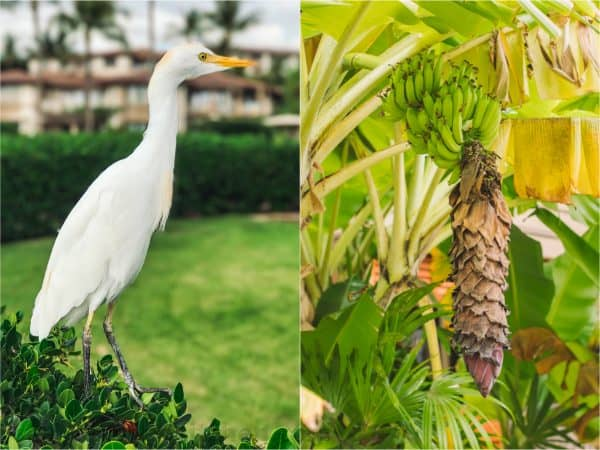 Two photos one of a bird that is standing and one of bananas growing